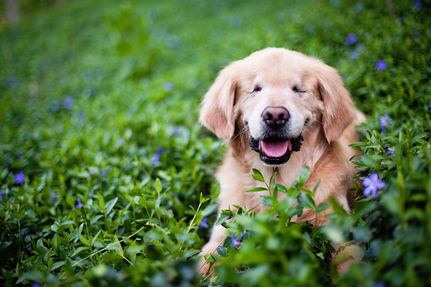 smiley-blind-therapy-dog-golden-retriever-stacey-morrison-2