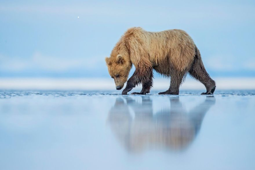 A Brown Bear Walks Across An Estuary, (lake Clark National Park, Alaska