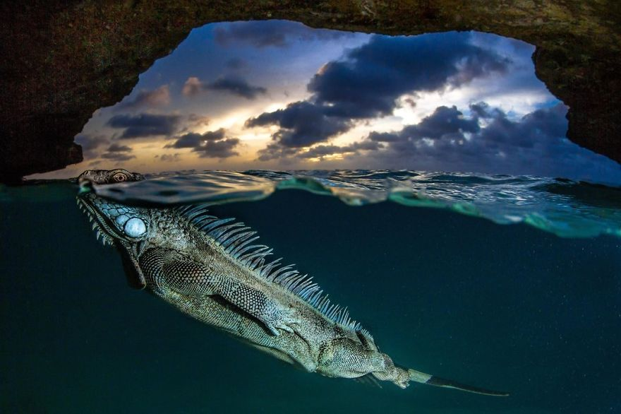 A Green Iguana Surfaces For Air, Bonaire, Netherlands