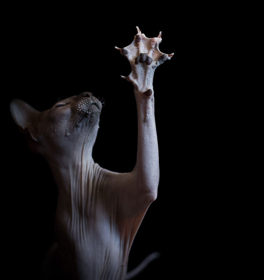 Podmanivá krása bezsrstých mačiek na umeleckých snímkach