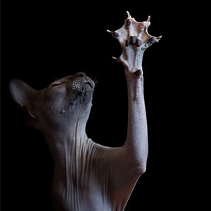 I Photograph Hairless Sphynx Cats To Explore Their Odd Beauty