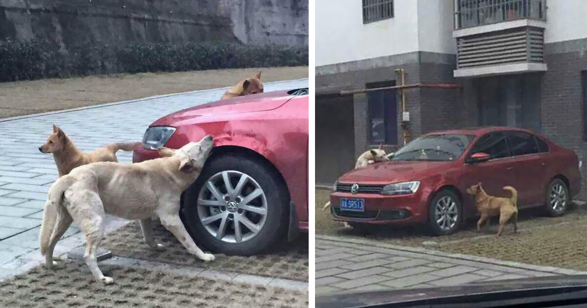 Stray Dog Who Got Kicked By Cruel Driver Comes Back With His Friends To Destroy His Car