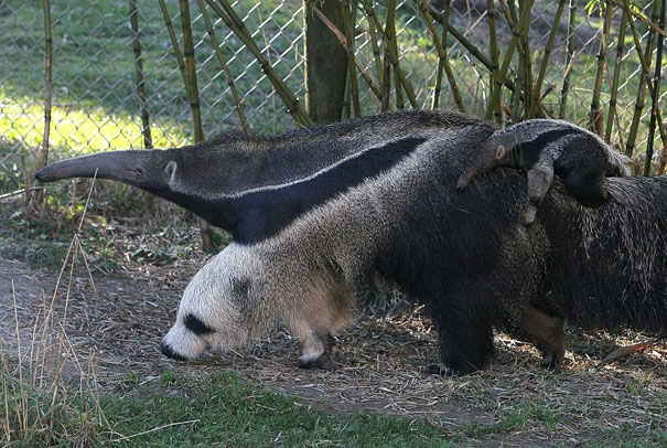 Giant Anteater's Legs Look Like Pandas