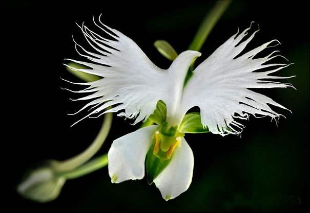 White Bird Orchid
