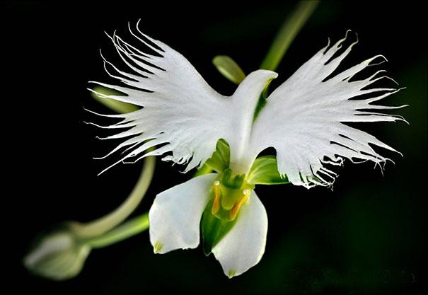 White Bird Orchid