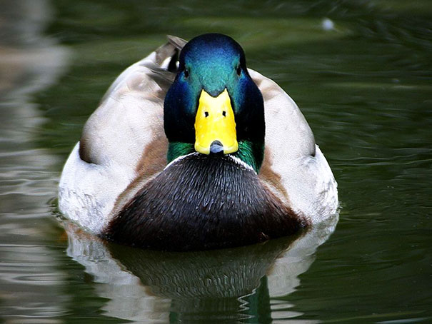 You Just Realized All Ducks Are Actually Wearing Dog Masks