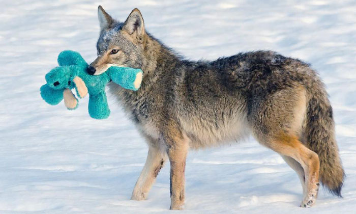 Wild Coyote Finds A Toy And Proves That Wild Animals Are As Playful As Pets