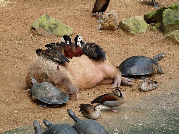Capybara And Geese