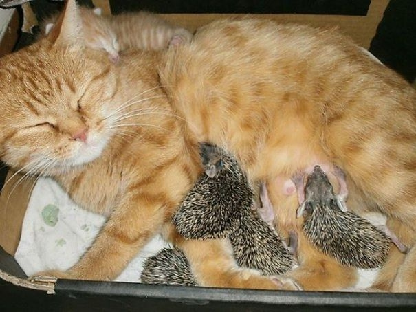 Cat And Hedgehogs