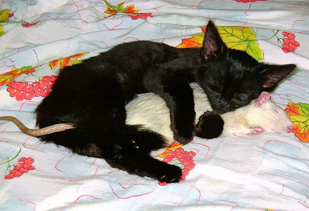 Cat And Pet Rat