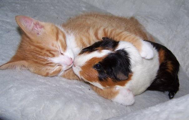 Cat And Guinea Pig