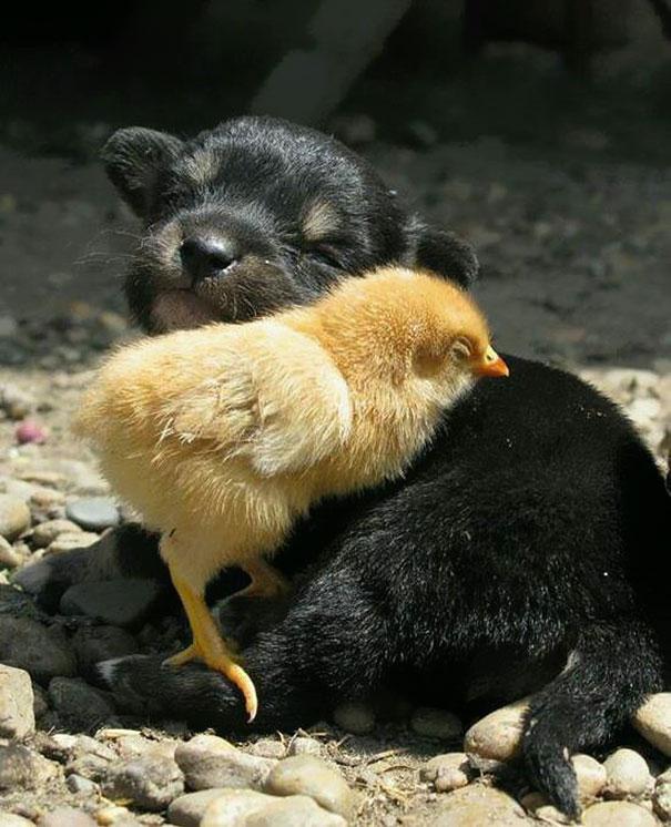 Dog And Chick