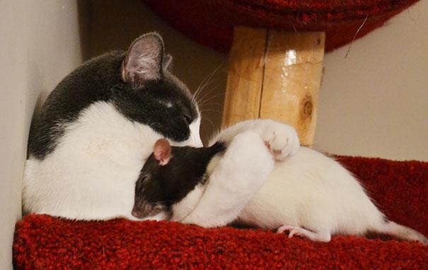 Cat And Pet Rat