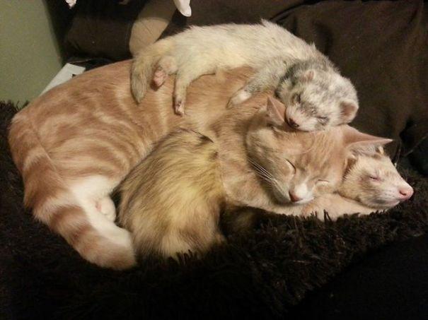 Cat And Ferrets