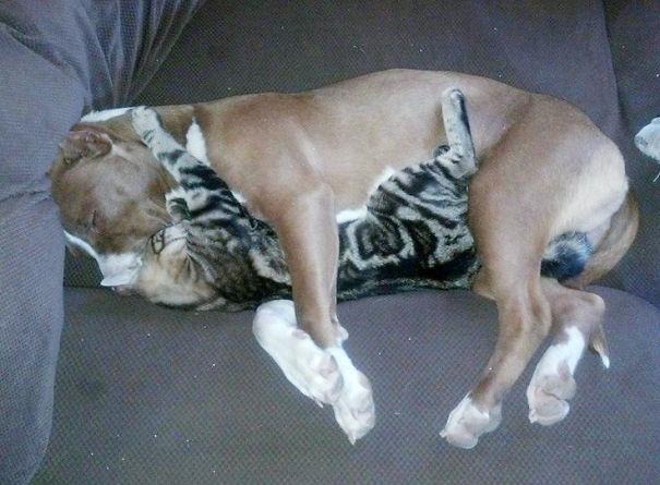 Cat And Pitbull