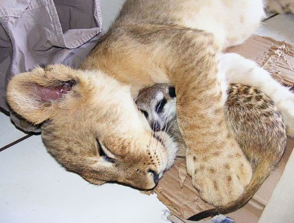 Meercat And Lion Cub