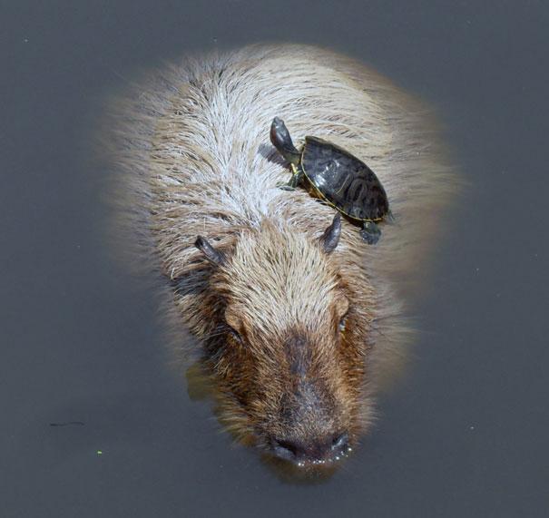 Capybara And Turtle
