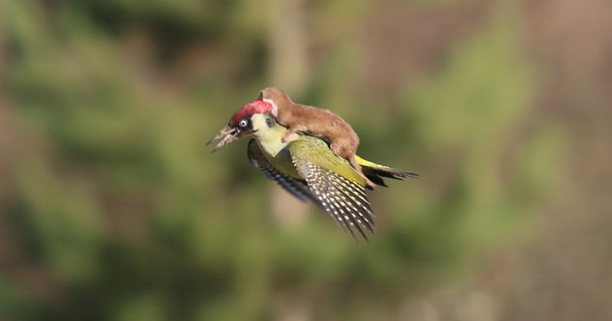 Baby Weasel Takes A Magical Ride On Woodpecker's Back