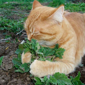 Genovese And Her Spring Catnip