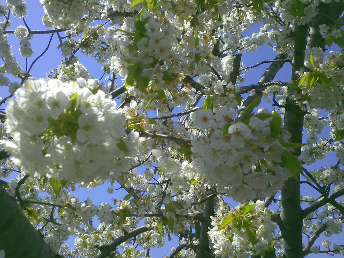 Defining True Natural Beauty — The Magic Of Cherry Blooming, In Picture And Text (part 2)