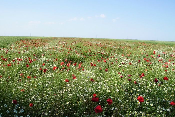 Field Of Poppies (somewhere Near The Danube)