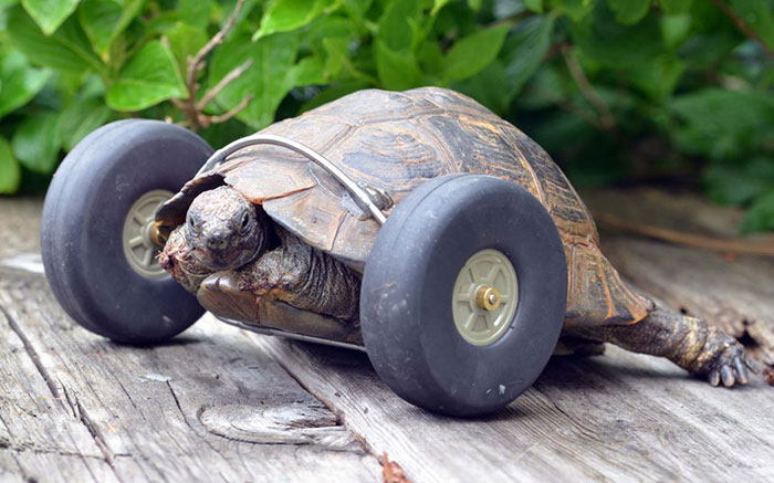 90-Year-Old Tortoise Whose Legs Were Eaten By Rats Gets Prosthetic Wheels And Goes Twice As Fast