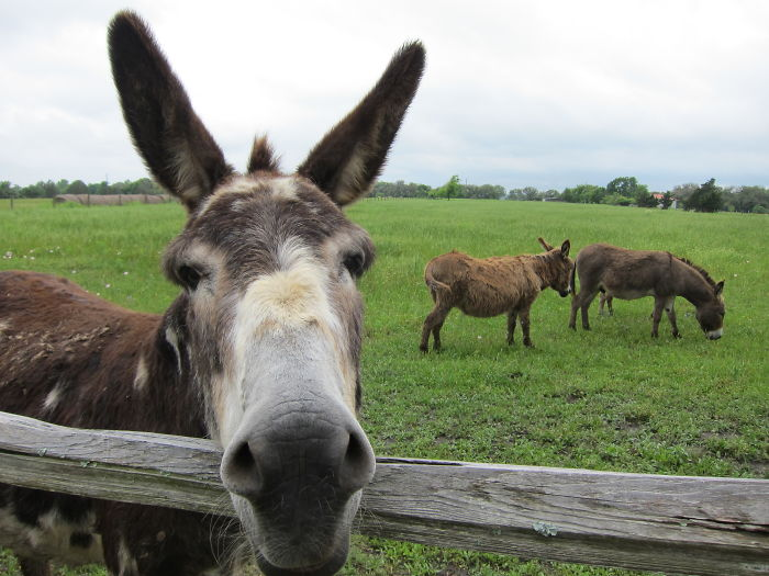 Stubborn Texas Mule Photobombs Donkeys