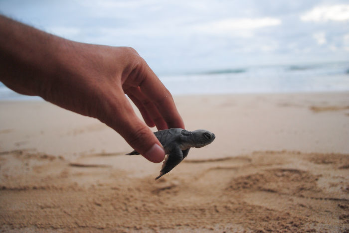 Baby Turtle Ready To The Sea