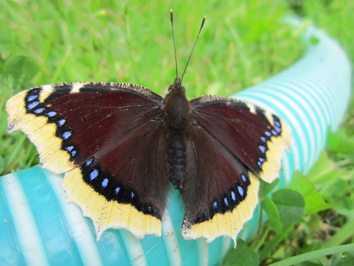 Nymphalis Antiopa Butterfly