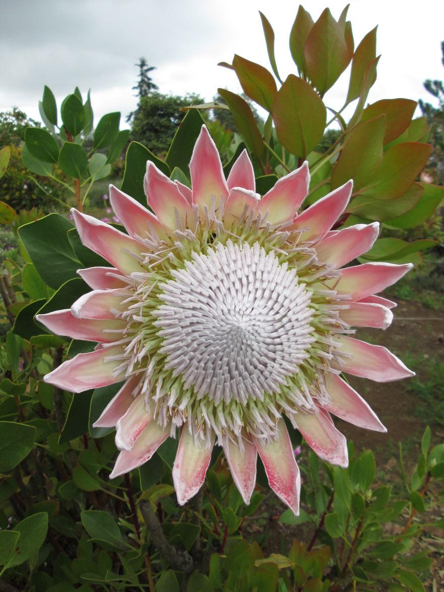 King Protea - Maui