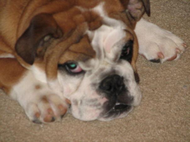 Tired Bulldog Pout
