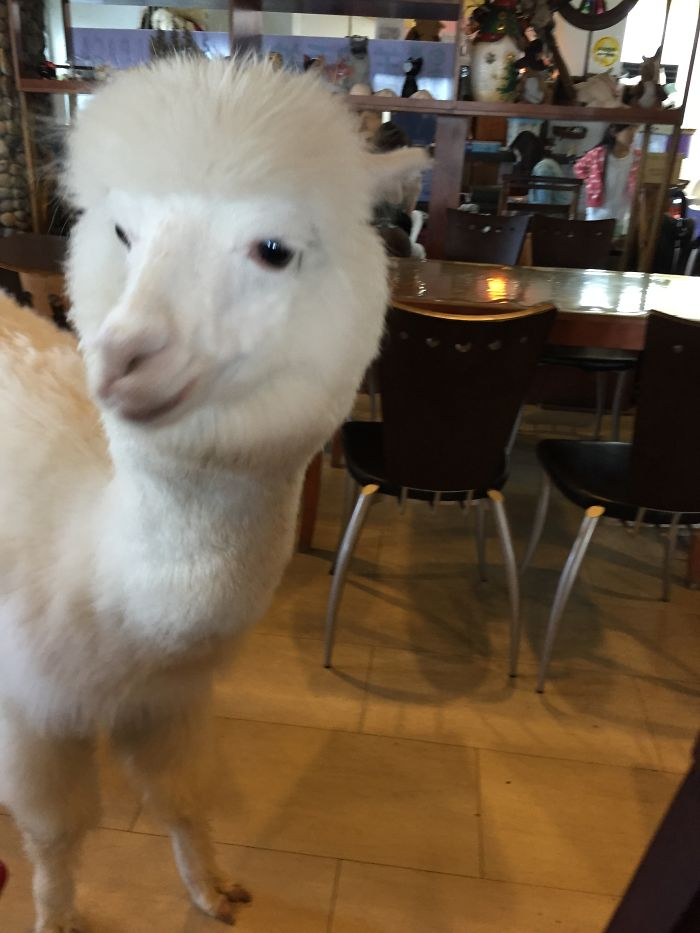 Alpaca Cafe In Taipei