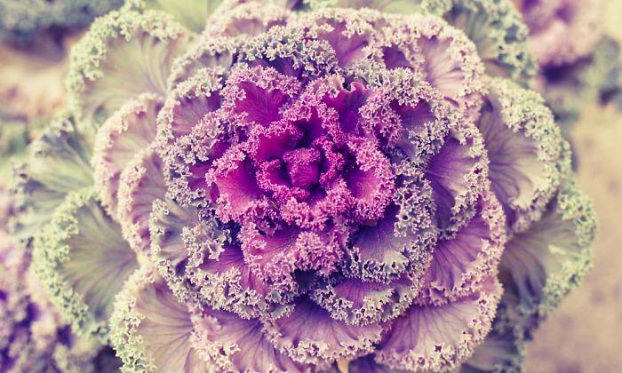 Purple Fractal Cabbage