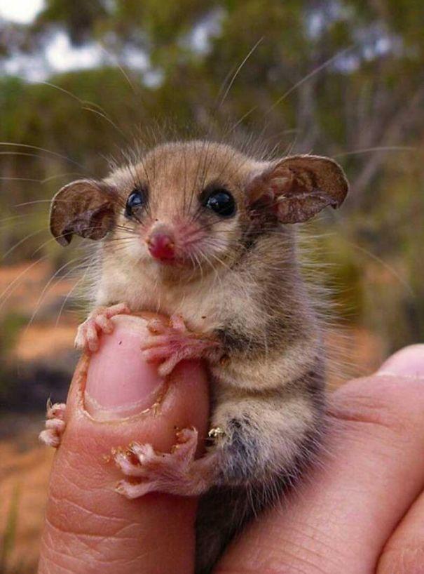 Baby Western Pygmy Possum