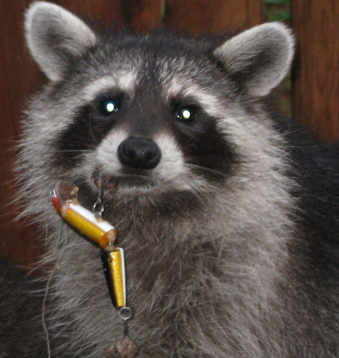Young Raccoon With Fishing Lure Caught In Lip.