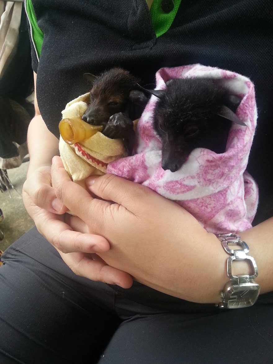 adorable-orphaned-baby-bats-australian-bat-clinic-1