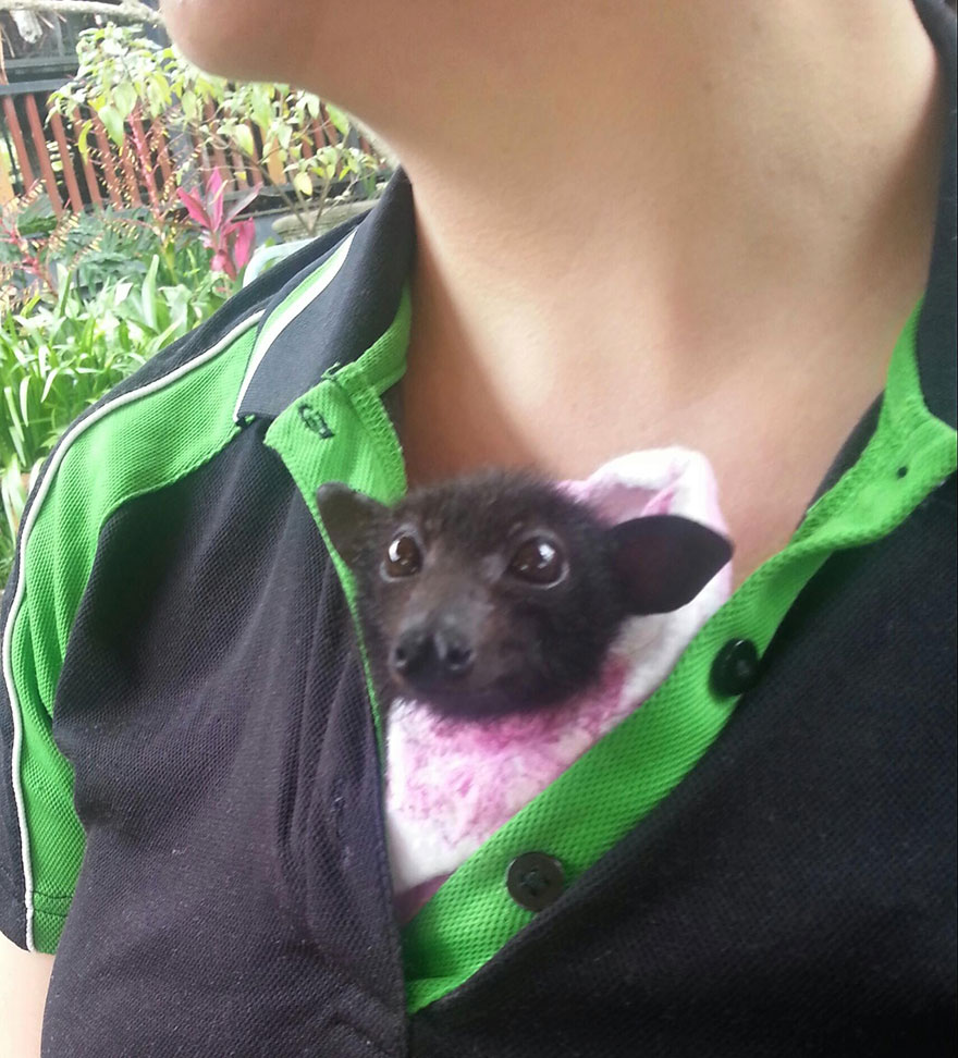 adorable-orphaned-baby-bats-australian-bat-clinic-2