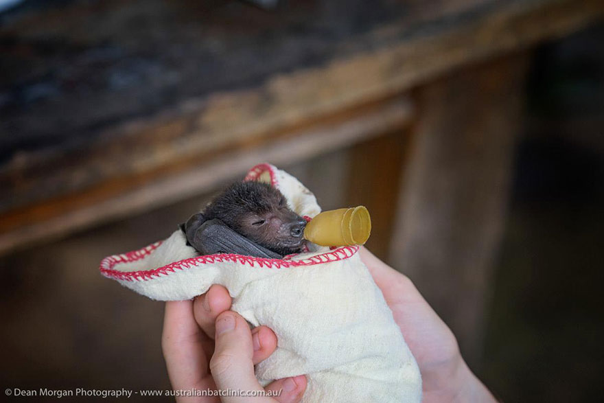 adorable-orphaned-baby-bats-australian-bat-clinic-9