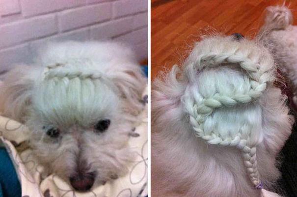 Braided Maltese Dog