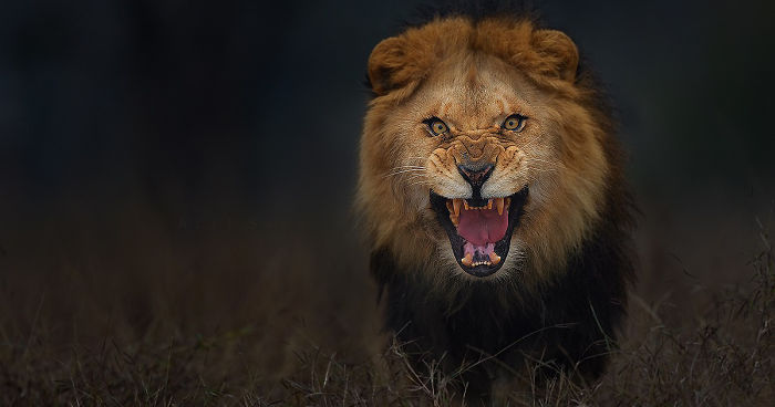 Photographer Shoots Angry Lion Photo Moments Before It