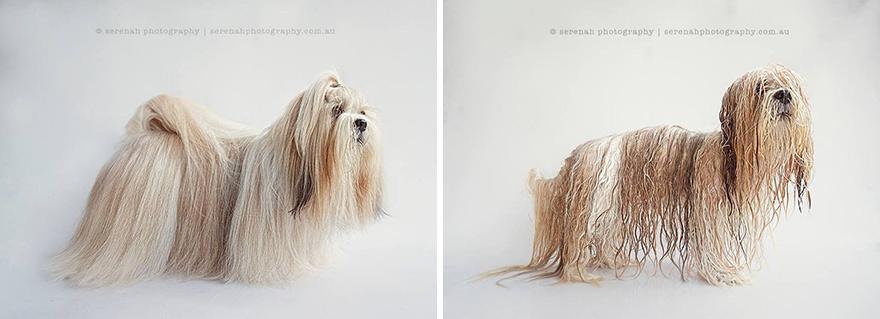 retratos dos animais-dry-wet-dog-serenah-hodson-5