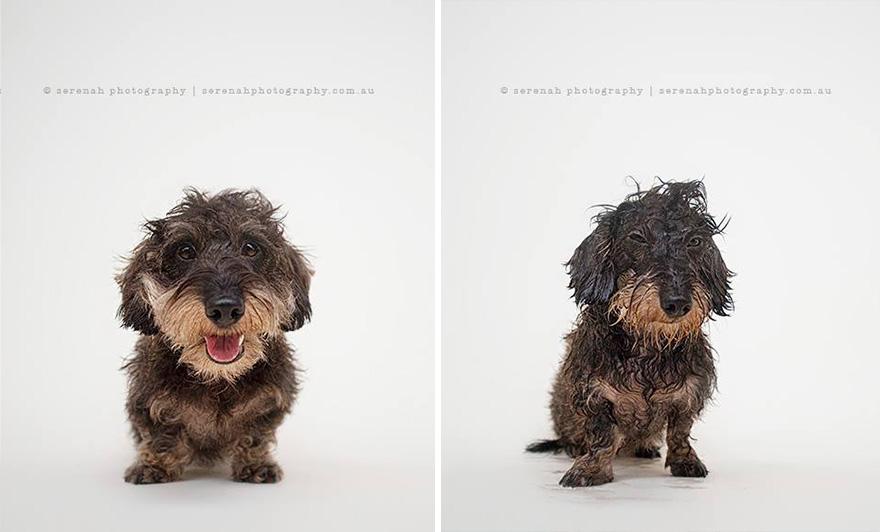 retratos dos animais-dry-wet-dog-serenah-hodson-8
