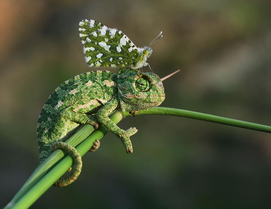 Chameleon And Butterly