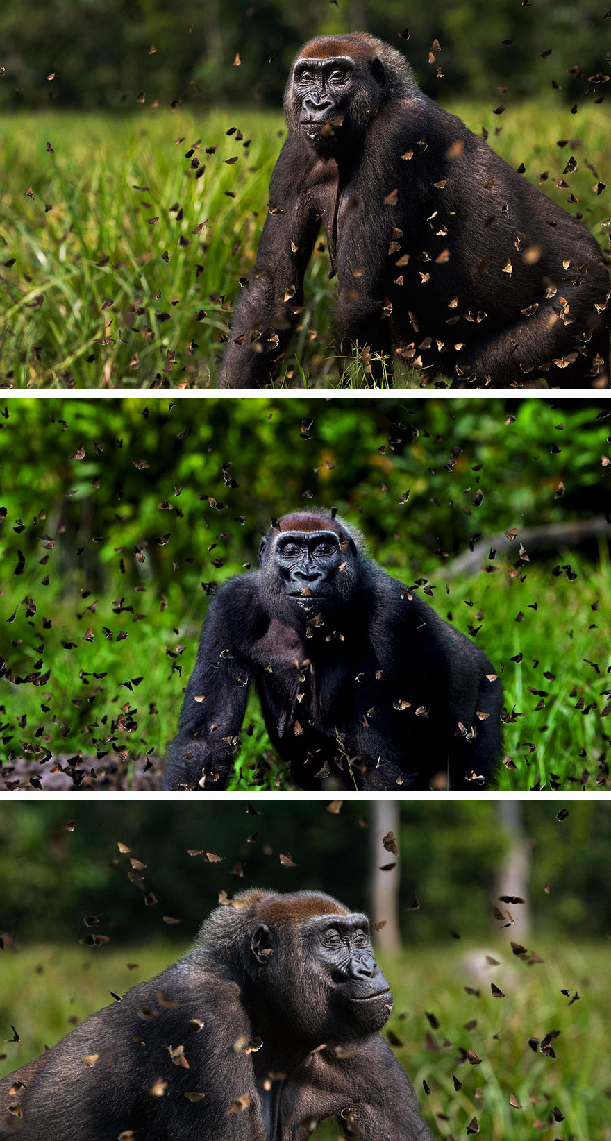 Gorilla Among Butterflies