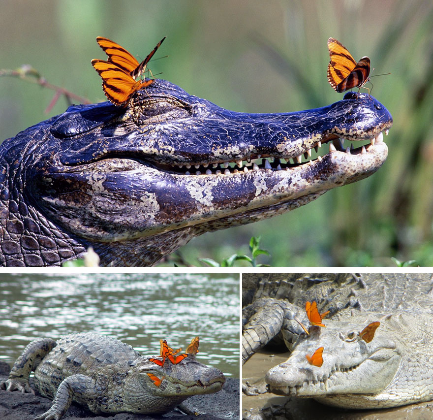 Alligators With Butterflies