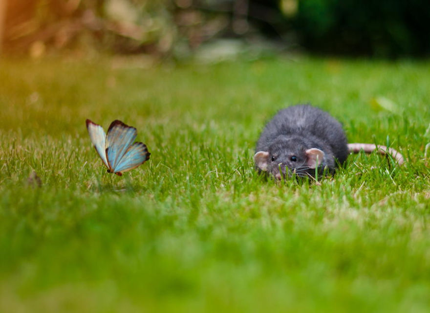 Rat And Butterfly