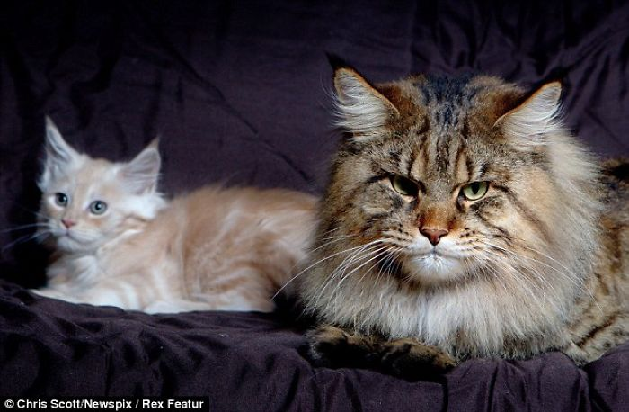 Rupert, The Big Maine Coon