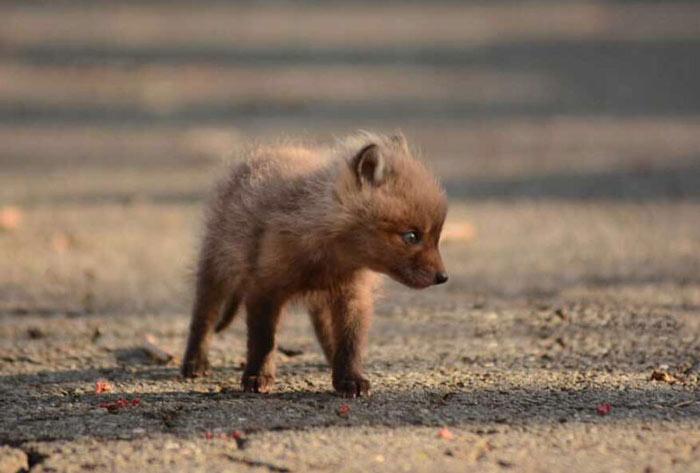 baby-fox-photos-found-in-backyard-1
