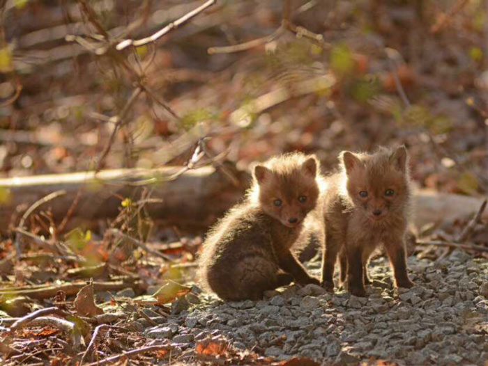 Father And Daughter Find Baby Foxes In Their Backyard ...