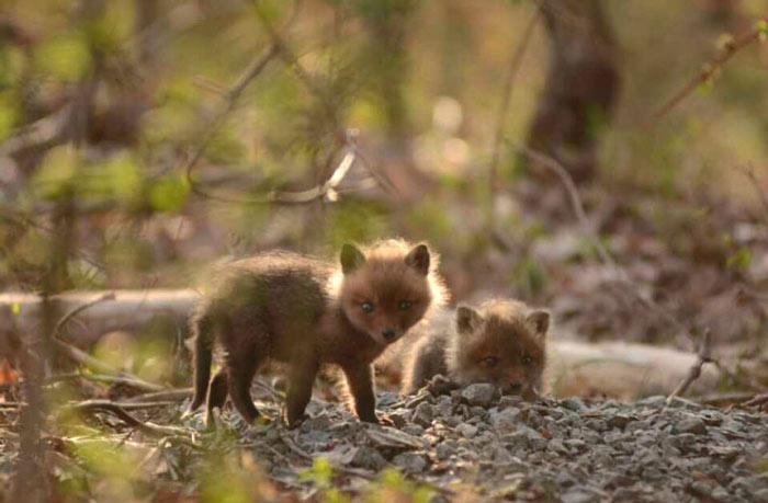 baby-fox-photos-found-in-backyard-4